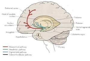 Rutas dopaminérgicas en el SNC