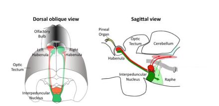 Localización del núcleo intrapeduncular (tomado de Agetsuma et al., 2010)