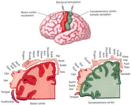 Principales regiones corticales responsables del control motriz