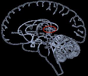 Habénula y varias de sus conexiones hacia otras estructuras cerebrales