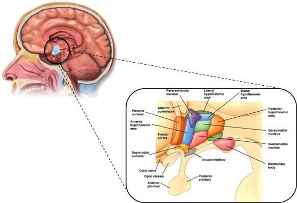 hypothalnuclei