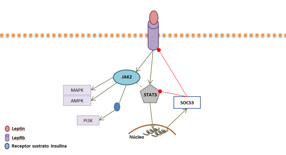 Esquema del feedback de regulación de la leptina