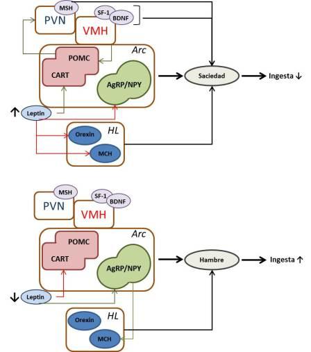 leptin1.2