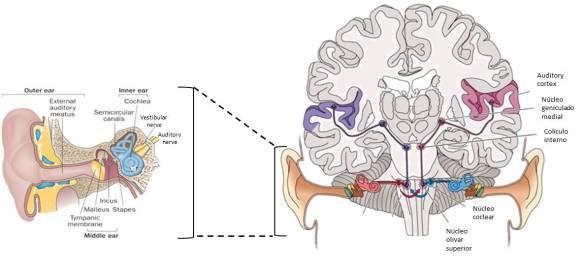 Esquema que muestra las distintas partes del canal auditivo y sus aferencias a distintas áreas de la corteza cerebral para el procesamiento de sonidos.