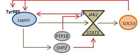 Breve esquema de mecanismos de señalización de la leptina. Verde = activación; Rojo = Inhibición