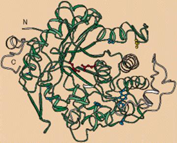 Estructura del gen KLOTHO (Fuente: Martin & Mian, 1997)