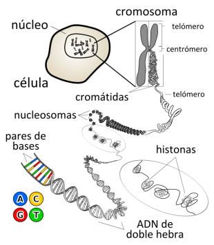 Situación del ADN dentro de la célula (Fuente: Wikipedia)