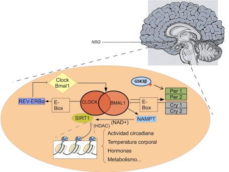 El complejo induce la transcripción de Per, Cry, y Rev-erb a través de la región promotora E-Box. Además, el dímero participa en funciones de regulación génica a través de la regulación de SIRT1 mediante la activación de la enzima NAMPT . La importancia de GSK3β recae en su papel fosforilador, el cual permite activar este conjunto, que  funciona como mecanismo de feedback negativo necesario para la regulación del sistema (Fuente: Tarragon y Miquel, 2011).