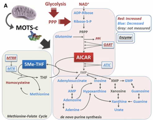 Modelo que muestra el mecanismo por el que la MOTS-c  interactúa con el ciclo folato-metionina, aumenta los niveles de AICAR y activa la AMPK (Fuente: Lee et al., 2015).