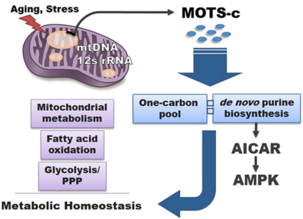 Modelo de la MOTS-c como péptido de señalización mitocondrial  mitochondrial que regula la homeostasis energética (Fuente: Lee et al., 2015)