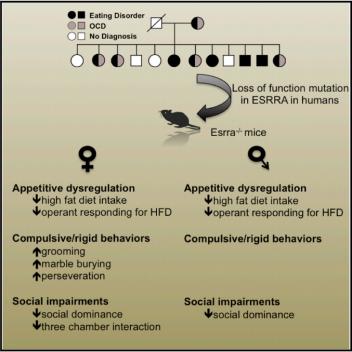 Mutaciones en el gen ERRalpha se han relacionado con el riesgo de padecer trastornos alimentarios. En ratones, la pérdida de este receptor provoca la aparición de conductas típicas de la anorexia nerviosa (Fuente: Cui et al., 2015)