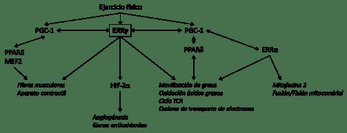 Esquema que muestra el papel central de EERy en la red de transcripción que regula la función en el músculo (Fuente: Rangwala SM, et al., 2010)