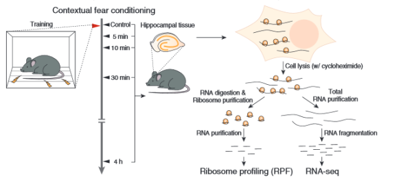 Esquema del protocolo seguido para RPF y secuenciación de RNA (Fuente: Cho et al., 2015)